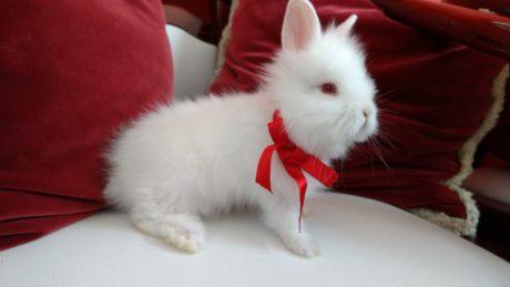 Porque ter um mini coelho: 7 motivos para você ter um mini coelho
